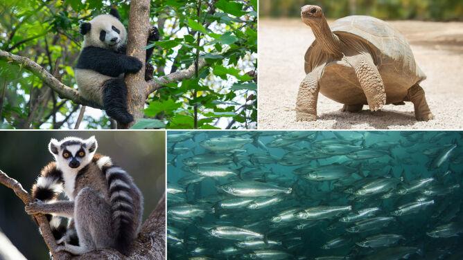 Świat bez lemurów, panter śnieżnych i dorszy? Naukowcy alarmują, że zmierzamy w takim kierunku