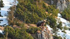 Niedźwiedź w Dolinie Bystrej (Tatrzański Park Narodowy)