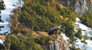 Zwierzęta na szlakach w Tatrzańskim Parku Narodowym (źródło: TPN)