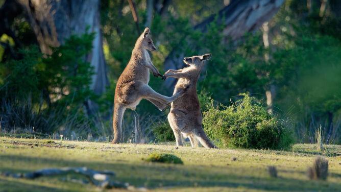 """Kangur zaatakował małżeństwo. """"Przyszedł <br />na walkę, z której nie chciał się wycofać"""""""