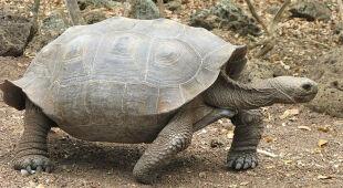 Żółwie ukradziono z wyspy Isabela w archipelagu Galapagos