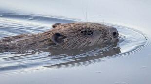 Zatrzęsienie bobrów w lasach Srokowa. Gryzonie stanowią poważne zagrożenie