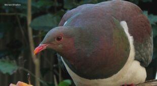 Garlica maoryska - ptak, który bywa pod wpływem alkoholu